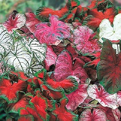 (Caladium Garden Mix, (6 Bulbs) Thrives in Heat and Humidity)