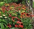 Echinacea Seeds - CHEYENNE SPIRIT - Hybrid Coneflower- Deer Resistant - 15 Seeds