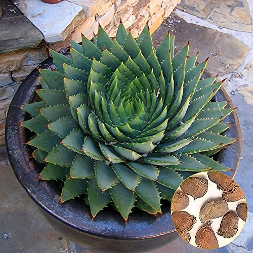 longdelaY6 Aloe Polyphylla Seeds£¬100Pcs Aloe Polyphylla Seed Garden Succulents Household Office Yard Horticulture