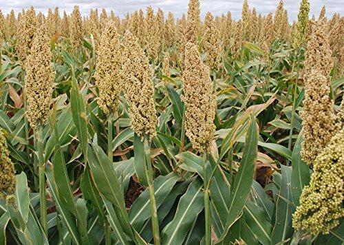 organic-grain-sorghum-milo-non-gmo-cereal-garden-grains-crop-seeds