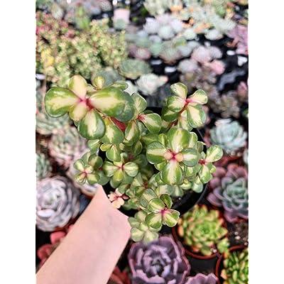 "AchmadAnam - Live Plant - 4"" Portulacaria Afra. Medio-Picta - Variegated Midstripe Rainbow Bush. E12 : Garden & Outdoor"