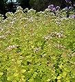 "Golden Oregano/Margoram Herb - Good Scents/Good Groundcover - 4"" Pot"