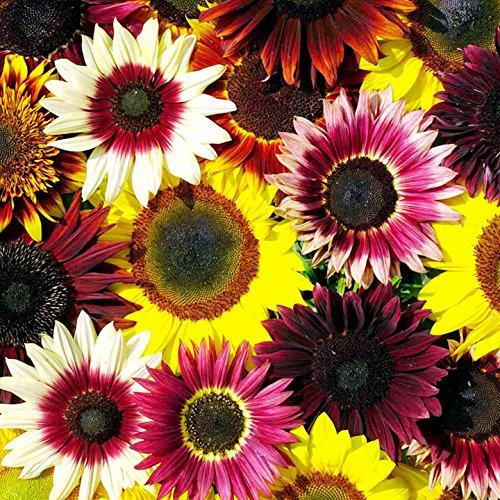 400 Seeds Sunny Sun Power Sunflower Mix, 10 Species