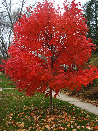 Autumn Blaze Red Maple Tree - Acer saccharinum - Heavy Established Roots - Two Gallon Potted - 1 plant by Growers Solution (Maple Red Tree)
