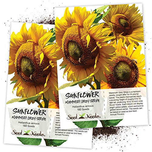 (Seed Needs, Mammoth Grey Stripe Sunflower (Helianthus annuus) Twin Pack of 140 Seeds Each Non-GMO)