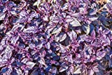 150 Dark Opal Purple Basil Seeds by RDR Seeds