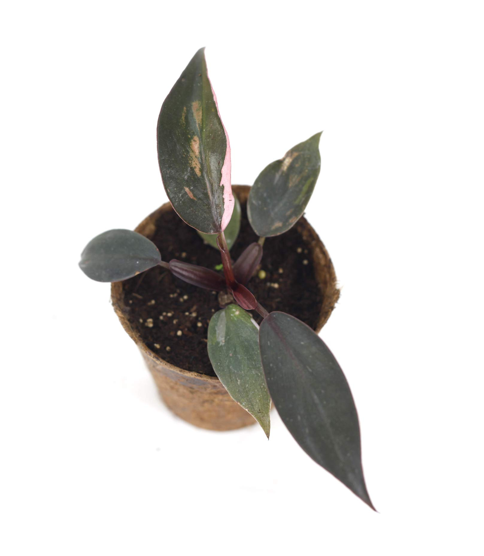 Philodendron Pink Princess(M) by Joinflower Joinfolia (Image #2)