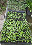 Miracle Fruit Plant Seedling Synsepalum dulcificum tree (Miracle berry)