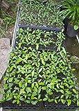 Miracle Fruit Plant Seedling Synsepalum dulcificum tree (Miracle berry)