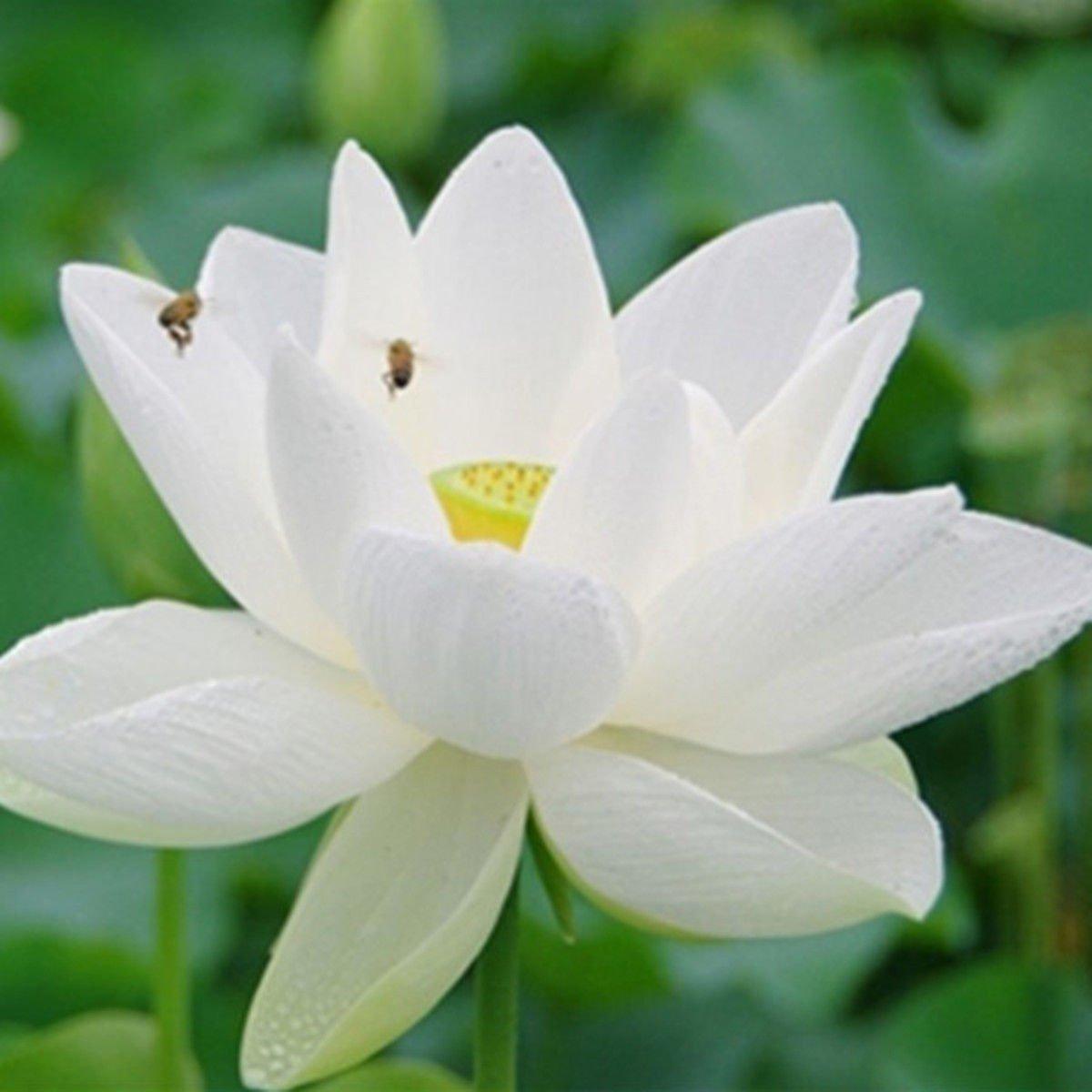 20pcs 4 Color Mix Bowl Lotus Flower Seeds Water Aquatic
