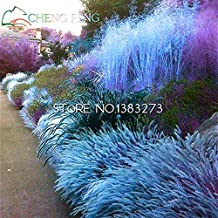 200pcs Grass garden Seeds Festuca glauca perennial hardy ornamental beautiful grass seeds for flower green pot planters bonsai