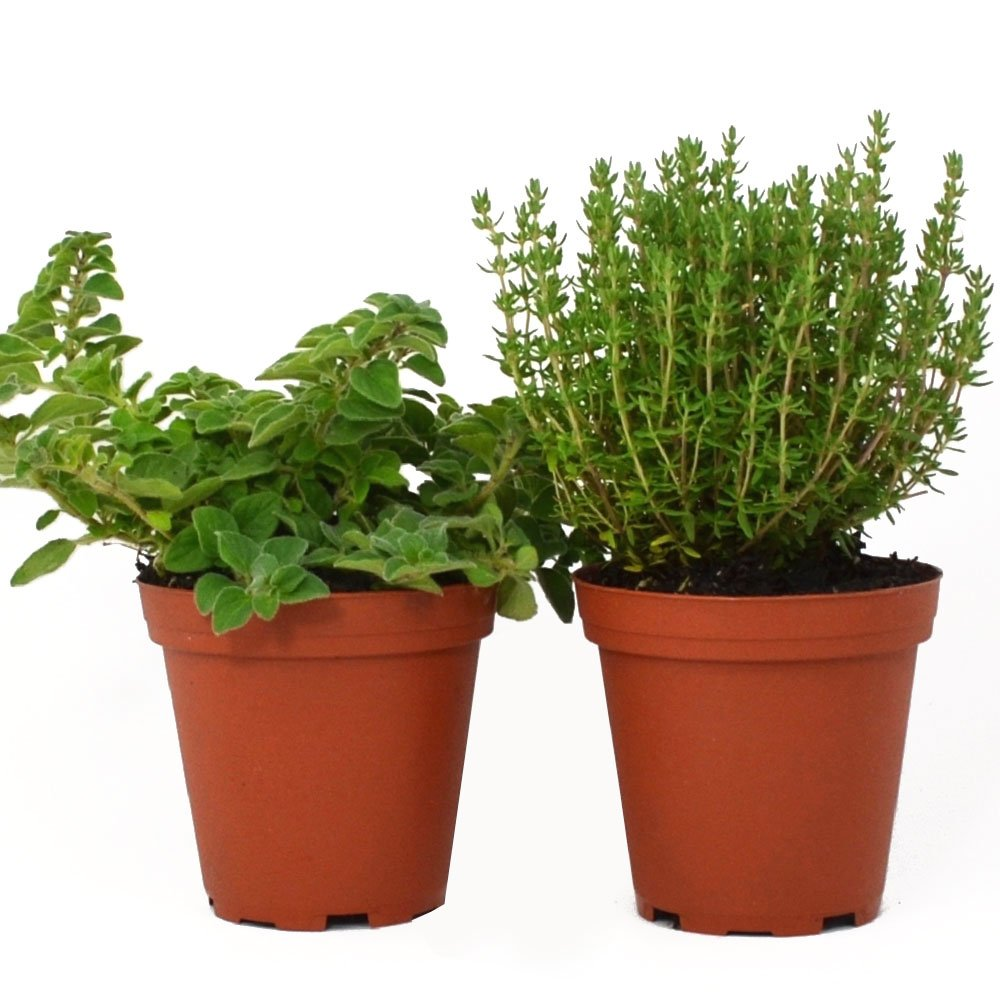 Oregano & Thyme Plants Set of 2 Organic Non GMO Stargazer Perennials