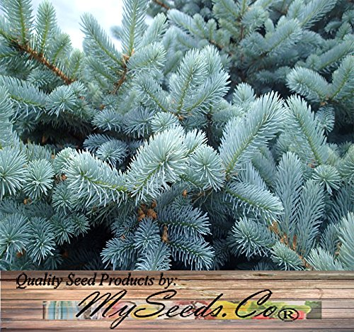 BIG PACK - (1,000) Colorado Blue Spruce Tree Seed - Picea pungens glauca - Tree Seeds - By MySeeds.Co (Big Pack - Blue (Blue Spruce Tree)