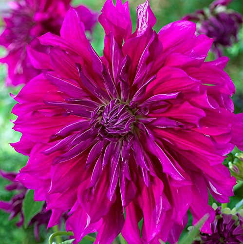 (Over The Top Dahlia Taiheijo - Purple Dinner Plate Dahlia (3 Bulbs) Huge Blooms | Ships from Easy to Grow TM)