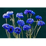 Dwarf Bachelor Button Seeds - Blue Cornflower - Pack of 1000 Seeds by Seeds2Go