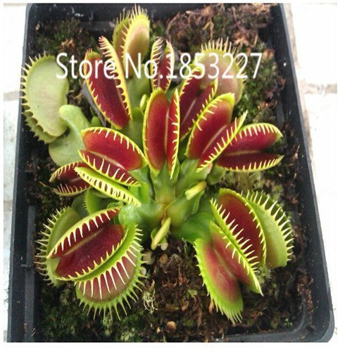 Free shipping Dionaea Muscipula Giant Clip Venus Fly trap Seeds 300PCS Insectivorous seed Garden Plant Seed Bonsai Family Potted