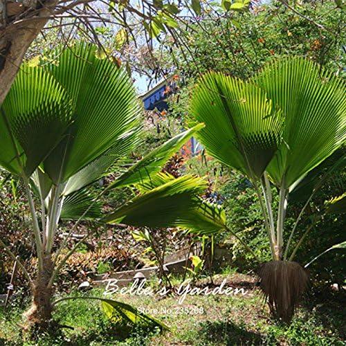 semillas 1pcs sagú palmera Cycas revoluta Tropical fácil de cultivar semillas de cícadas Bonsái Para semillas jardín de Bonsai: Amazon.es: Jardín