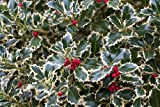 Ilex aquifolium 'Argentea Marginata' silver-margined English holly 3 potted plants evergreen (TC product)