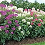 Cleome Seeds - Mixed Colors - Packet, Rose/Violet/Cherry/White Flowers