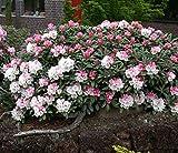 Mardi Gras Rhododendron - Live Plants - Trade Gallon