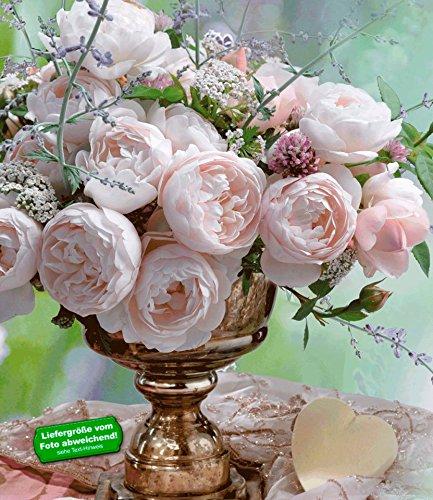 BALDUR-Garten Delbard®-Rosen 'Vichy®', 1 Pflanze Beetrose