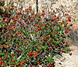 10 Seeds Rhus trilobata Skunk Bush Sumac, Indian Lemonade Tree