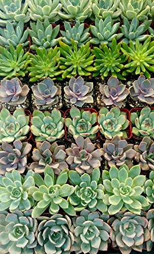 Shop Succulents| Premium Pastel Collection of LiveSucculent Plants, Hand Selected Variety Pack of Mini Succulents | Collection of 20 in 2'' pots by Shop Succulents (Image #1)