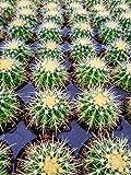 """Echinocactus grusonii Golden Barrel Cactus 3.5"""""""