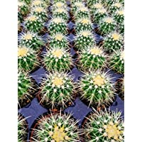 Echinocactus grusonii Golden Barrel Cactus 3.5