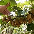 The king of fruits kiwi yellow flesh kiwi seed pot kiwi fruit seed big year results 100 Seeds/Pack