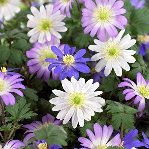 Blue, Pink, and White Anemone Blanda Flutter Mix - 30 Big Bulbs - 5/6 cm - GREAT Cut Flowers & Attractive to (Anemone Blanda Bulbs)