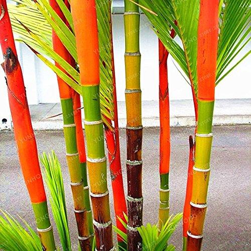 (20 Lipstick seeds Lipstick Palm Cyrtostachys Renda Tree, red sealing wax palm)