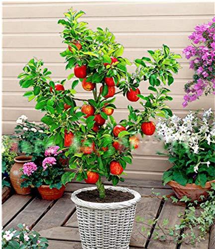 30PCS Apple Tree Dwarf Bonsai Apple Tree Mini Fruit for Home Garden Planting Perennial Potted Plant