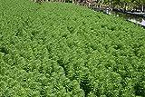 POND PLANT, PARROT'S FEATHER.