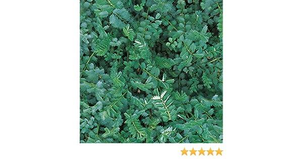 Burnet Salad 95 Seeds Suffolk Herbs