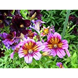 Painted Tongue- (Salpiglossis Sinuata Velvet Dolly) - mixed colors- 100 seeds