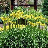 Van Zyverden 87111 Fritillaria - Lutea - Set of 3 Flower Bulbs, 20/24 cm, Yellow