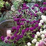 Park Seed Las Vegas Purple Gomphrena Seeds