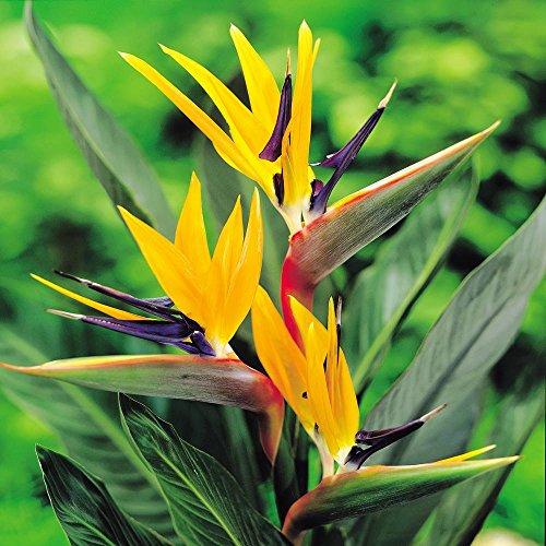 8718358011129 ean strelitzia plante oiseau de paradis 1 plante upc lookup. Black Bedroom Furniture Sets. Home Design Ideas