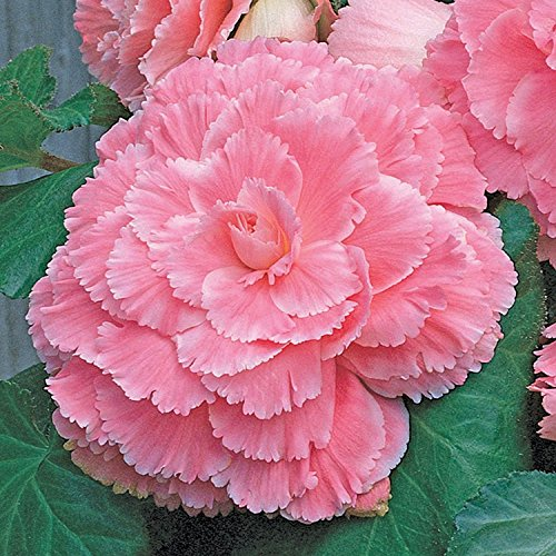 (Mytree Pink Amerihybrid Tuberous Picotee Lace Begonia (3 Big Bulbs) 6¡± Bi-Color Blooms)