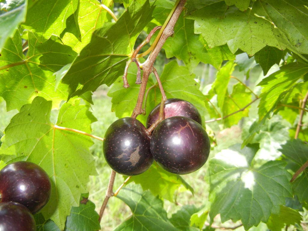 (2 Gallon) Jumbo Muscadine Grape Vine, Black Fruits are Very Large in Size. One of The Largest Black Muscadines. High yields, Good Flavor. by Pixies Gardens