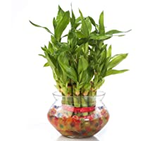 Lucky Leafy Lucky Bamboo 2 Layer with Round Glass Pot and Colored Jelly Balls Indoor Live Plants Vastu and Feng Shui