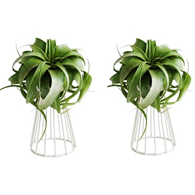 Pack of 2 Air Plant Tillandsia Base Large Tillandsia Air Plant Holder Metal Indoor Tabletop Big Streptophylla Air Plant Stands Tillandsia Plant Racks Large Xerographica Air Plant Stand : Garden & Outdoor