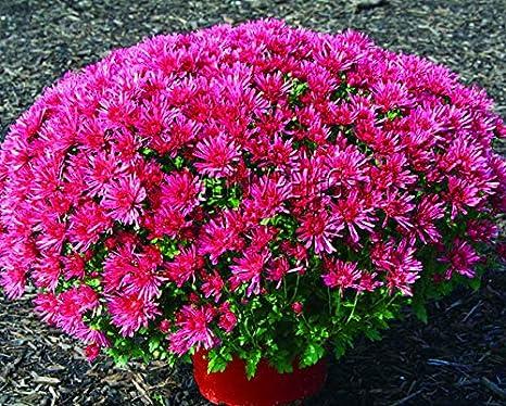 Shopvise Flor de semillas de bonsai de crisantemo para jardín de su casa 100 piezas/bolsa; Color10: Amazon.es: Jardín