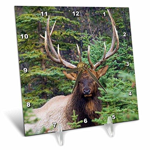 - 3dRose Danita Delimont - Elk - Rocky Mountain Bull Elk looking at the camera. - 6x6 Desk Clock (dc_278065_1)