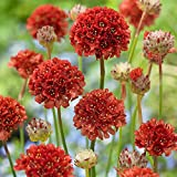 1 Pcs of 0.75 Armeria pseudarmeria Red Ballerina Series, False Sea Thrift