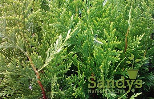 Sandys Nursery Online Thuja Green Giant Arborvitae ~Fast Growing Trees~ Quart pot 16+