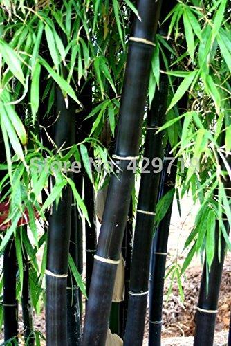 Loss Promotion! 20 bamboo seeds rare giant black moso bamboo bambu seeds professional pack Bambusa Lako tree seeds for home garden (Bambu Tree)