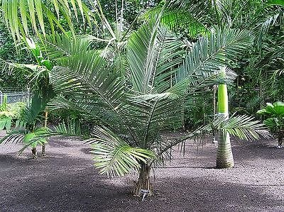5 RARE PALM SEEDS ALLAGOPTERA CAUDESCENS (POYANDROCOCOS) BAHIA BURI PALM (Buri Seed)