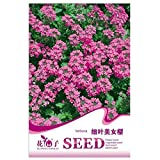 Thin Leaves Pink Verbena hybrida Seeds, Original Package 30pcs Garden bonsai Flower seeds, Easy Grow Verbena